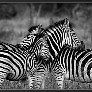Zebra group-hugs Plakat